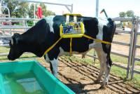 阿根廷研發用牛屁發電