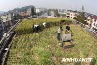 自給自足-樓頂植水稻