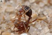 瘋黃蟻(Nylanderia fulva)教你一秒變抖M(大誤)