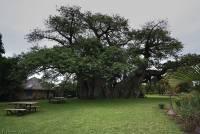 充滿原始風味奇怪酒吧,在 6 000 歲麵包樹中買個醉吧